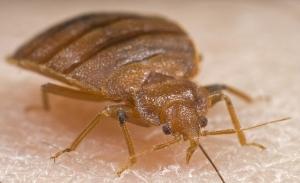 female-bedbug